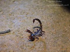 Tityus bahiensis (?) (Arystene Nicodemo) Tags: tytus escorpio scorpiones arcndeo escorpiocerrado aracnideosocarlos