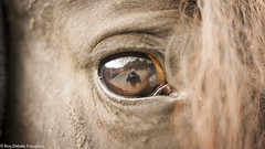 Look me in the eye. (Roy Debets) Tags: horse animals closeup 50mm fries paard frisian