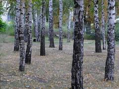 (GrusiaKot) Tags: park parco black cat ukraine birch kharkov gatto nero kharkiv  ucraina    betulle