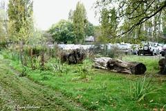 Edge of Hills Meadow Car Park (3) (karenblakeman) Tags: uk trees plants october carpark caversham treetrunks 2015 hillsmeadow