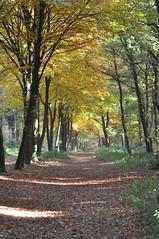 (Stefan Hageman1705) Tags: autumn fall netherlands utrecht herfst nederland bos beech rhenen grebbeberg beuk beukenlaan