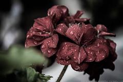 Malvon (Marcelo Madroal) Tags: red plants flores flower nature rain garden sadness lluvia rojo plantas jardin desaturation raindrops vegetal desaturadas