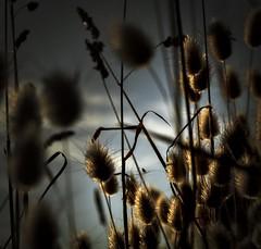 Cape Schanck (phunnyfotos) Tags: light sunset plant square coast nikon australia victoria coastal shore vic coastline morningtonpeninsula goldenhour shorescape capeschanck westernportbay morningtonpeninsulanationalpark d5100 nikond5100 phunnyfotos