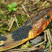 Broad-banded Watersnake, Subadult
