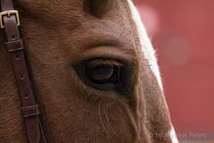 DSC02274_s (AndiP66) Tags: nationalespferdezentrumbern nationales pferdezentrum npz springen bern samstag saturday 2015 oktober october pferd horse schweiz switzerland kantonbern cantonofbern concours contest wettbewerb horsejumping springreiten pferdespringen equestrian sports pferdesport sport sony sonyalpha 77markii 77ii 77m2 a77ii alpha ilca77m2 slta77ii sony70400mm f456 sony70400mmf456gssmii sal70400g2 andreaspeters ch