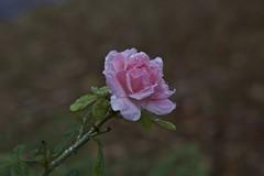 pink rose in the rain (Pejasar) Tags: pink oklahoma rain rose tulsa heavyrains