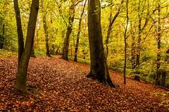 English Beech Wood (Macro light) Tags: nature walks wildlife trust worcestershire beech reserves hanbury beechwoods autumncolour pipershill