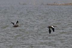 Ruddy shelduck (keynowski) Tags: wild bird nature animal ku hayvan ruddyshelduck doa canon400mmf56lusm yabanhayat angt canon70d