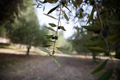Two olive branches hanging down