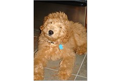 george-at-3-months--george-is-one-of-morgan-and-chewys-puppies-_2330873805_o