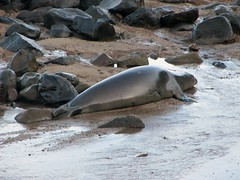 Monk seal going for a snooze (Dianna White) Tags: hawaii bigisland monkseal keokeabeachpark