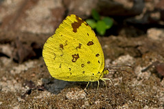 Eurema hecabe - the Common Grass Yellow (dry season form) (BugsAlive) Tags: macro nature animal butterfly insect thailand outdoor wildlife butterflies insects lepidoptera chiangmai pieridae coliadinae euremahecabe commongrassyellow dryseasonform liveinsects butterfliesofthailand ผีเสื้อเณรธรรมดา obkhannp