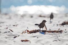 Carmel by the Sea Beach Visitors (twinsfan7777) Tags: california bird water seashells waves relaxing carmel migration birdy luckyduck carmelbythesea canonef70200mmf4l catharusminimus monterreycounty canon50d graycheekedthrushbird