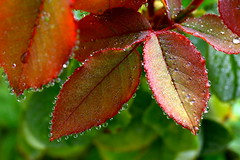 Dewdrops (annalisabianchetti) Tags: nature leaves drops dew rugiada gocce