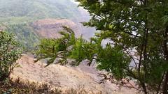 Grevillea-robusta_WaimeaCanyon-Kauai_Cutler_20161121_131607 (wlcutler) Tags: kauai hawaii waimeacanyon grevillea grevillearobusta