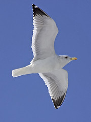 Seagull in Flight (Johnnie Shene Photography(Thanks, 2Million+ Views)) Tags: seagull gull bird birding animal vertical photography outdoor colourimage fragility freshness nopeople foregroundfocus spreadwings korea korean midair fly flying flight lowangle interesting aw awe wonder fulllength white stationary winter day nature natural wild wildlife aves laridae tranquility single one shadow magnified telephoto behaviour gliding sailing sail cool coldtemperature canon eos600d rebelt3i kissx5 sigma apo 70300mm f456 dg macro zoom lens 갈매기 새 조류 비행 날개 날개짓