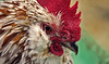 Persuasiveness (aquigabo!) Tags: quebec laval nature fauna bird animal rooster colors texture dof depthoffield eos canon life aquigabo dsrl t5i 700d feathers farm 250mm persuasive eye look red orange green white stern composition closeup light focus