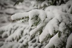 Snow Covered (trouble4dan) Tags: 2016 danhamill evergreen needles pinetree snow tree winter