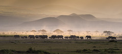 Line of elephants at sunset in Amboseli National Park, Kenya, East Africa (diana_robinson) Tags: lineofelephants sunset amboselinationalpark kenya eastafrica dusty acaciatrees africansunset wildlife elephants walkingelephants specanimal