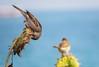 SPARROW (Ziad Hunesh) Tags: zhunesh canon sx50hs sparrow sunflower bird photography zoom animal