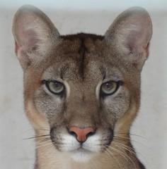 puma (lizhaguilera) Tags: puma nature fauna paraguay