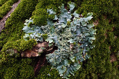 Foliose Lichen (Plant Image Library) Tags: arnoldarboretum boston plants newengland winter january 2017 trees foliose lichen