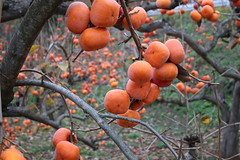 Diospyros kaki-40 (The Tree Library (TreeLib.ca)) Tags: japanesepersimmon diospyroskaki