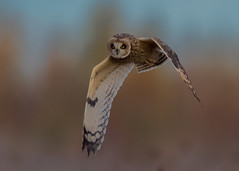 Short-eared Owl ( Asio flammeus ) (Dale Ayres) Tags: