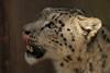 snowleopard Krefeld JN6A1426 (j.a.kok) Tags: irbis snowleopard sneeuwluipaard sneeuwpanter krefeld azie asia himalaya predator mammal zoogdier cat kat