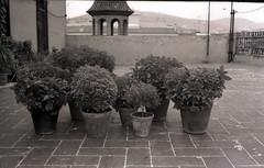 1966 Albahaca (jose Gonzalvo) Tags: 1966 albahaca planta bn