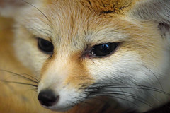 A Familiar Face (MTSOfan) Tags: fennecfox lvz educationanimal vulpeszerda nocturnal mammal
