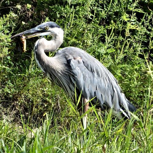 Aurora, IL, Lake Waubonsie State Park, Grey Heron Having Lunch
