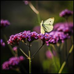butterfly (Der Zeit die Augenblicke stehlen) Tags: blumenundpflanzen deutschland eos700d falter fokussiert hth56 makro schmetterling sommer thomashesse tierwelt verbenabonariensis butterfly