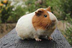 porquinha (jeessic) Tags: pig guinea porquinha índia rj