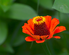 20140808_garden flowers_0025 (zoomclic) Tags: canon closeup colorful flower foliage flowers dof dreamy cosmos zinnia orange outdoors yellow green garden pink 7d nature bokeh zoomclicphotography ef100400mmf4556lisusm
