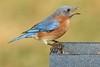 Male Eastern Bluebird (Sialia sialis) (Steve Byland) Tags: eastern bluebird sialia sialis canon 7d markii