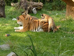 Playing with Mom... (libra1054) Tags: tiger tigre cats bigcats animals animales animali animaux animais zooduisburg outdoor