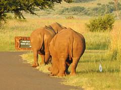 173 White Rhinoceros (Magic Moments by Pippa) Tags: southafrica pretoria rietvlet nature reserve wildlife game bigfive rhino rhionoceros nikon p900