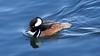 Hooded Merganser 4 (mausgabe) Tags: olympus em1 olympusm40150mmf28 olympusmc14 nyc centralpark thereservoir bird duck male hoodedmerganser