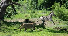 Lion (Panthera leo) stalking a running Burchell's zebra (Equus quagga burchellii) (Dave Montreuil) Tags: africa burchell's panthera african animal burchellii east equus hiding hunting leo lion luangwa mammal quagga running sneaking south stalking zambia zebra