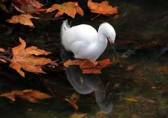 Creek ghost (TJ Gehling) Tags: bird ardeidae egret snowyegret egretta egrettathula cerritocreek elcerrito leaves reflection creek