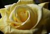 DSC_4209 Yellow Rose (PeaTJay) Tags: nikond750 reading lowerearley berkshire macro micro closeups gardens indoors nature flora fauna plants flowers bouquetofroses rose roses rosebuds