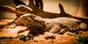 Francis le Pogona 2841 (darry@darryphotos.com) Tags: nikon d700 1735mmf28d animal pogona iguane saurien