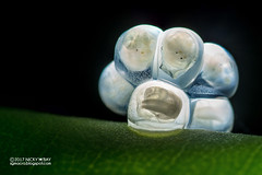 Snail eggs with embryos (Gastropoda) - DSC_8858 (nickybay) Tags: macro chestnutavenue singapore snail eggs embryo backlighting gastropoda