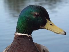 Mallard (& spider lol) (blue33hibiscus) Tags: mallard duck spider waterbird wwt slimbridge gloucestershire
