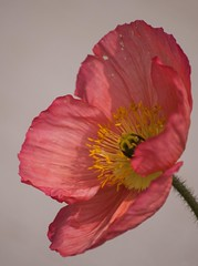 Mohn (G_u_e_d_e) Tags: blume blüte flower blossom eutin landesgartenschau lgs 2016