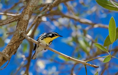Yellow-throated Warbler (Kremlken) Tags: puertorico birds aves birding warblers rincon neotropical migration yellowthroated