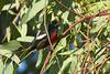 Painted Redstart (christopheradler) Tags: california painted redstart myioborus pictus