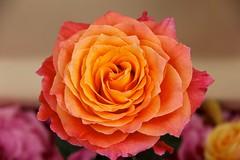 Rozenfestival 2016 Lottum (ToJoLa) Tags: canon canoneos60d 2016 rozenfestival rozendorp lottum limburg kleuren bloem flower roos rose