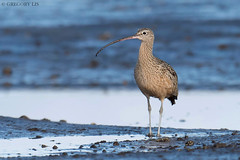 Long-billed Curlew (Gregory Lis) Tags: longbilledcurlew numeniusamericanus surrey britishcolumbia gorylis gregorylis nikond810 bird outside
